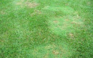 lawn weed bent grass