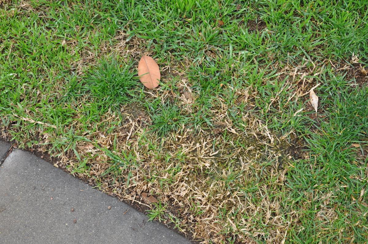 lawn weed bermuda