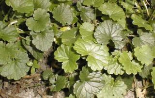 lawn weed ground ivy