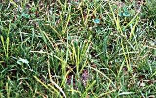 lawn weed nut sedge