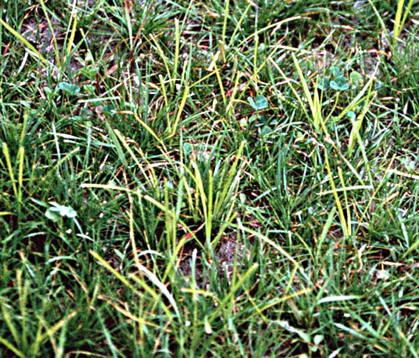 Nut sedge / Nut grass