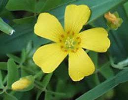 lawn weed oxalis flower