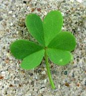 lawn weed oxalis leaf