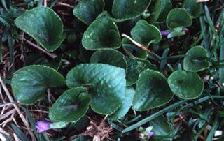 violets weed