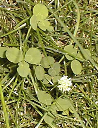 white clover weed